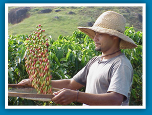 Coffee plantation worker